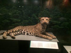 Jaguar taxidermy
